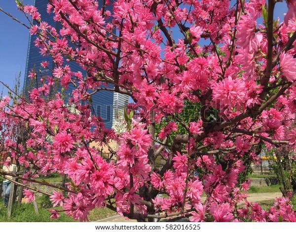 Japanese cherries tree