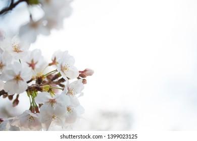 Japanese cherry blossom background. Sakura in bloom.