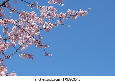 Japanese cherry blossom in full blooming