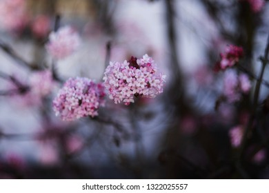 Japanese cherry blossom in natural environment.
