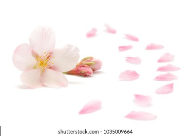 Japanese cherry blossom and petals isolated on white background