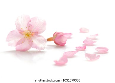 Japanese cherry blossom and petals on white background