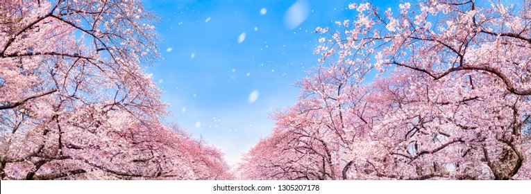 Japanese cherry blossom tree panorama in spring as background