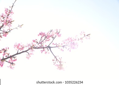 фотообои Japanese cherry blossoms