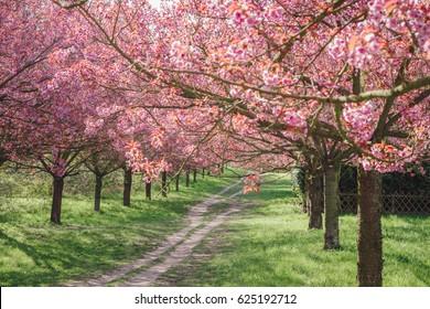 japanese cherry blossoms against blue sky