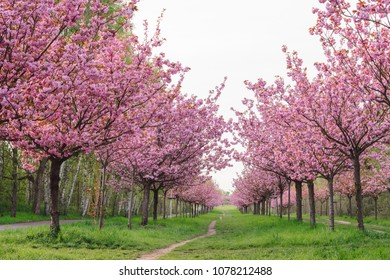 japanese cherry blossoms during spring