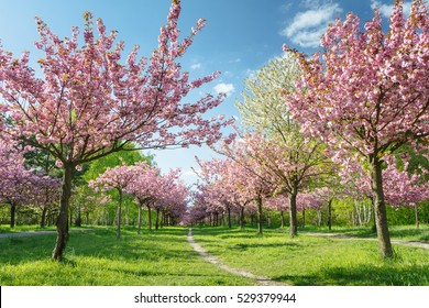 Japanische Kirschblüten in voller Blüte