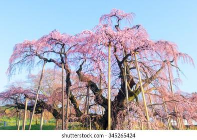 Japanese cherry blossoms Miharu TAKIZAKURA,Fukushima(prefectures),tourism of japan