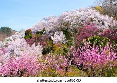 Japanese cherry blossoms SAKURA,Fukushima(prefectures),tourism of japan