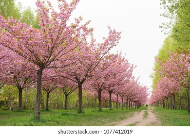 japanese cherry blossoms in spring