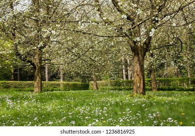 Japanese cherry blossoms in spring (near Paris, France).
