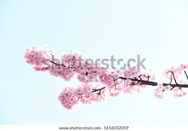 Japanese Cherry blossoms in Tokyo
