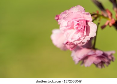 Japanese cherry tree blossom and green background