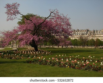 Japanese cherry tree with field of tulips in Luxembourg park in Paris