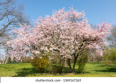 Japanese cherry tree in full blossom - Prunus serrulata