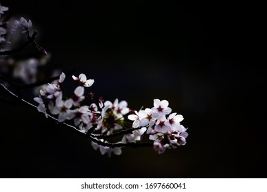 The Japanese cherry tree which blooms in the dark place