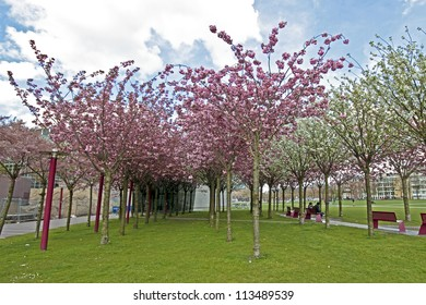 Japanese cherry trees blossoming in spring at the Museumplein in Amsterdam the Netherlands