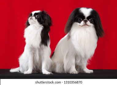 Japanese Chin 2 dogs, studio portrait sits isolated on red background.