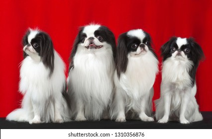 Japanese Chin 4 dogs, studio portrait stand sits isolated on red background.