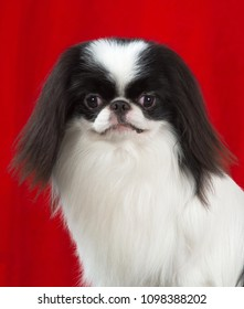 Japanese Chin dog portrait isolated on red background