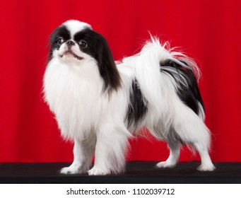 Japanese Chin dog portrait, stand isolated on red background, In studio.