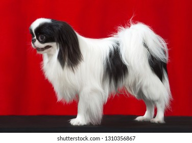 Japanese Chin dog, studio portrait stand  isolated on red background.