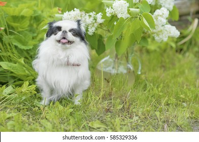 Japanese chin dog summer in the green grass