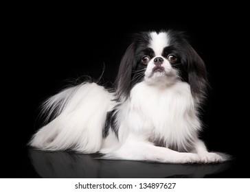 japanese-black-breed