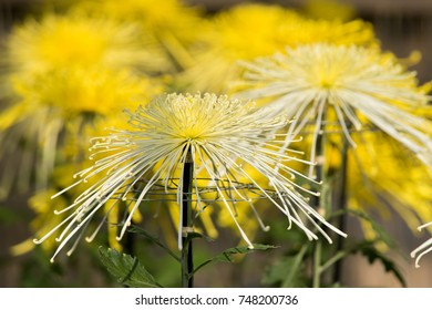 Japanese chrysanthemums