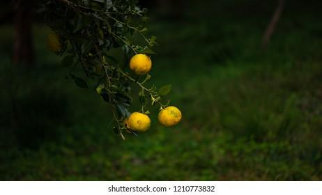 Japanese citrus tree called Yuzu is bearing fruits. It has color of lemon.