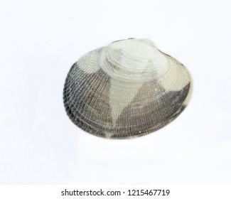 Japanese clam, Ruditapes philippinarum, on white background
