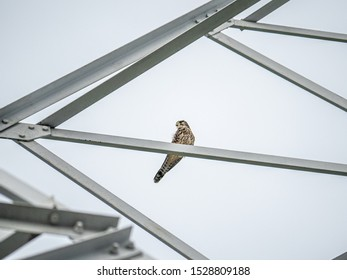 A Japanese common kestrel, Falco tinnunculus, rests on a high power line tower after a fight with a large forest crow in western Yokohama, Japan.