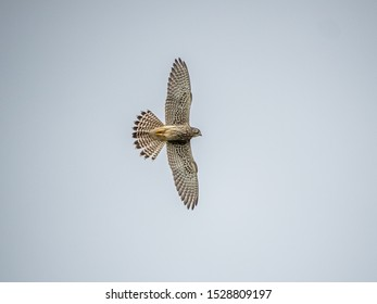 A Japanese common kestrel, Falco tinnunculus, in flight during a fight with a large forest crow in western Yokohama, Japan.