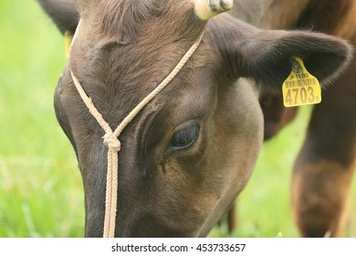 Japanese cow