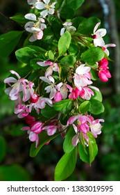 Japanese Crabapple (Malus floribunda); blossoming
