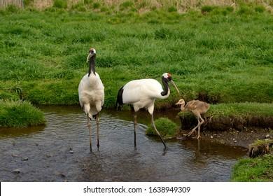 Japanese crane family. kushiro Marsh national park.