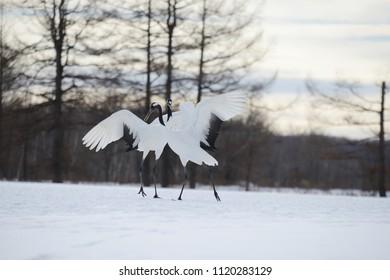 Japanese crane in Hokkaido