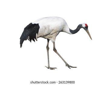 The Japanese crane on white background isolated