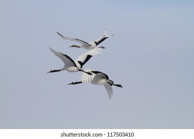 Japanese crane or Red-crowned Crane (Grus japonensis) in Hokkaido, Japan