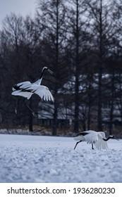 Japanese crane in Tsurui village,Kushiro,Hokkaido,Japan