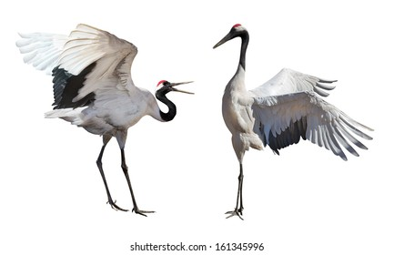 Japanese cranes courtship dance isolated on white background
