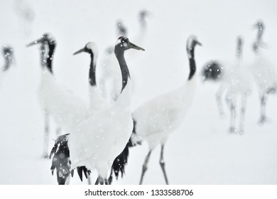 Japanese cranes in snowfall. The red-crowned crane. Scientific name: Grus japonensis, also called the Japanese crane or Manchurian crane, is a large East Asian Crane.