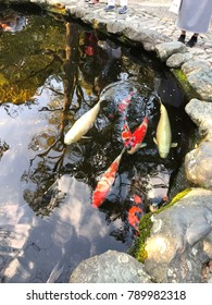 In Japanese culture, the koi carp is a highly respected and very symbolic fish that is closely tied to the country's national identity.