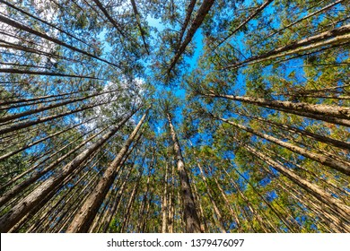 Japanese cypress forest Cryptomera Japonica dynamic view from below, Kumano Kodo forest in Japan