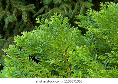 Japanese cypress leaf. Picture of the beautiful Japanese cypress scenery.
