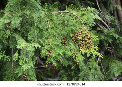 Japanese cypress nuts