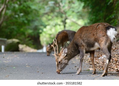 Japanese Deer World Natural Heritage Yakushima