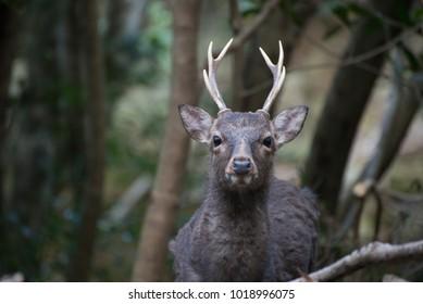 Japanese Deer Yakushima
