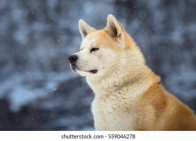 japanese Dog Akita Inu Winter Portrait