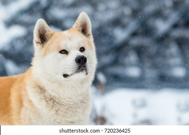 Japanese Dog Akita Inu Winter Background